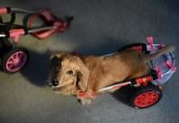 川西さん夫妻の愛犬、ミニチュアダックスフントのスイーピー=大阪市住之江区で2017年8月25日、久保玲撮影