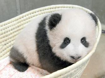 身体測定中のジャイアントパンダの赤ちゃんのシャンシャン=東京都台東区の上野動物園で2017年9月30日午前10時39分、東京動物園協会提供