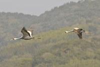 出水平野の上空を舞うマナヅル=鹿児島県出水市で、フリーカメラマンの尾上和久さん撮影