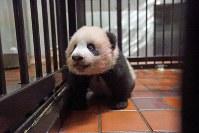 産室内を歩くジャイアントパンダの赤ちゃん「シャンシャン」=東京都台東区の上野動物園で2017年10月10日午後1時55分、東京動物園協会提供