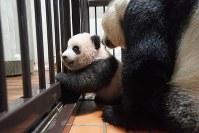 産室の柵に前脚をかけて、立ち上がろうとするジャイアントパンダの赤ちゃん「シャンシャン」=東京都台東区の上野動物園で2017年10月10日午後1時55分、東京動物園協会提供