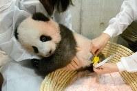 生後120日になり、身体検査をするジャイアントパンダ「シャンシャン」=東京都台東区の上野動物園で2017年10月10日午前10時4分、東京動物園協会提供