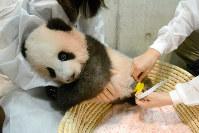 10月11日、東京動物園協会は、上野動物園で誕生して4カ月となったジャイアントパンダの赤ちゃん「シャンシャン」の写真を公開した。提供写真は10日撮影(2017年 ロイター/Tokyo Zoological Park Society)