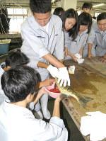 メスのサケの腹を切開して採卵する生徒たち