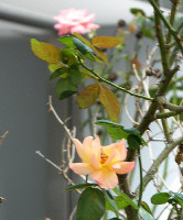 「アンネのバラ」(手前)と「愛吉・すずのバラ」。平和への願いが込められた花が咲く=大阪市都島区東野田町1で、松井宏員撮影