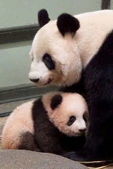 生後130日になったジャイアントパンダのシャンシャンと母親のシンシン=台東区の上野動物園で2017年10月20日午前11時34分、東京動物園協会提供