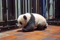 産室内を歩くジャイアントパンダの「シャンシャン」=台東区の上野動物園で2017年10月20日午前10時47分、東京動物園協会提供