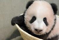 生後130日の身体検査を受けるジャイアントパンダの「シャンシャン」=台東区の上野動物園で2017年10月20日午前10時34分、東京動物園協会提供