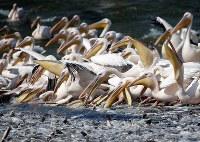 10月24日、渡り途中のペリカン数万羽が飛来するイスラエルで、養殖魚の採餌被害を緩和する目的で、国がペリカンに餌を与える「給餌作戦」に乗り出した(2017年 ロイター/Baz Ratner)