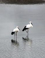広大寺池に飛来したコウノトリ=奈良市池田町で、畑中知子さん提供