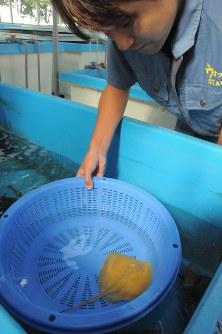 浜名湖で見つかった金色のエイ=浜松市西区の浜名湖体験学習施設で