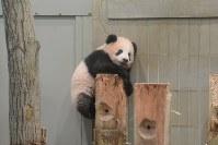 木の柱にのぼるジャイアントパンダの「シャンシャン」=東京都台東区の上野動物園で2017年11月6日午後2時12分、東京動物園協会提供