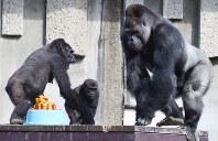 19歳の誕生日ケーキに近づくイケメンゴリラとして有名な「シャバーニ」(右)=名古屋市千種区の東山動物園で2015年10月20日午後1時43分、木葉健二撮影
