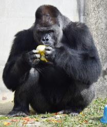19歳の誕生日ケーキを食べるイケメンゴリラとして有名な「シャバーニ」=名古屋市千種区の東山動物園で2015年10月20日午後1時44分、木葉健二撮影