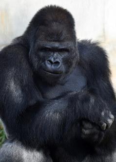 19歳の誕生日を迎えたイケメンゴリラとして人気の「シャバーニ」=名古屋市千種区の東山動物園で2015年10月20日午後1時51分、木葉健二撮影