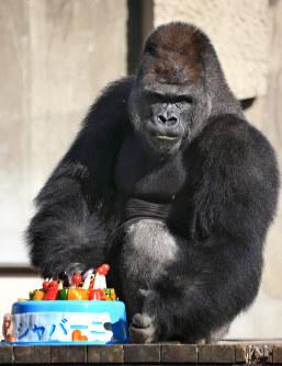 二十歳の誕生日を迎えたニシローランドゴリラのシャバーニ=名古屋市千種区の東山動物園で2016年10月20日午後2時8分、兵藤公治撮影