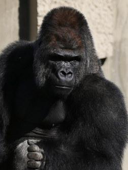 ゴリラのシャバーニ=名古屋市千種区の東山動植物園で2016年10月20日、兵藤公治撮影