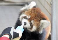 公開が始まったレッサーパンダの赤ちゃん=北九州市小倉北区の到津の森公園で2017年11月13日、取違剛撮影
