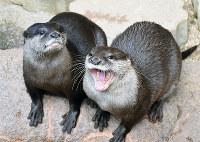 「肝っ玉かあちゃん」だという母のマサ(右)にべったりのくるみ=愛媛県砥部町上原町のとべ動物園で、中川祐一撮影