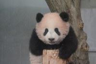 丸太に登ったジャイアントパンダの「シャンシャン」=東京都台東区の上野動物園で2017年11月19日午前9時10分、東京動物園協会提供