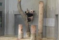 木に登るジャイアントパンダの「シャンシャン」=東京都台東区の上野動物園で2017年11月19日午前9時8分、東京動物園協会提供