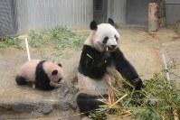 母親の「シンシン」と一緒に過ごす、ジャイアントパンダの「シャンシャン」=東京都台東区の上野動物園で2017年11月19日午前9時19分、東京動物園協会提供
