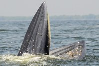 An Eden's whale is seen waiting upright for fish to come into its mouth in the Gulf of Thailand. (Photo courtesy of Takashi Iwata, special overseas researcher at the Japan Society for the Promotion of Science)