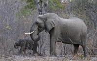 11月17日、トランプ米大統領は、ジンバブエとザンビアで狩猟したゾウの象牙を記念品として持ち帰ることを解禁する政府の決定について、当面保留するとのツイートを投稿した。保護団体やソーシャルメディアでの激しい反発を受けたもの。写真は2015年8月ジンバブエで撮影(2017年 ロイター/Philimon Bulawayo)