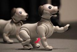 ソニーが発表した犬型ロボット「アイボ」=2017年11月1日、後藤由耶撮影