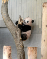 Giant panda cub Xiang Xiang is seen climbing a tree at Ueno Zoological Gardens in Tokyo's Taito Ward, on Nov. 19, 2017. (Photo courtesy of the Tokyo Zoological Park Society)