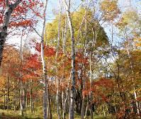 鮮やかに色づいた木々=長野県信濃町で(C・W・ニコル・アファンの森財団提供)