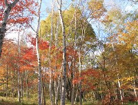 Autumn foliage is seen in Shinano, Nagano Prefecture. (Photo courtesy of the C. W. Nicol Afan Woodland Trust)