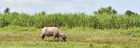 ネグロス島ではサトウキビの栽培が盛んで一面に畑が広がる。「カラバオ」と呼ばれる水牛が飼育されている=フィリピン・ネグロスオクシデンタル州タリサイで2017年8月6日、川平愛撮影