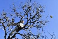 自宅跡地に生き残った柿の木の枝を切る中村さん。「今年も小ぶりながら実を付けた。来年もまた収穫したい」=新潟県糸魚川市で2017年11月13日、藤井達也撮影