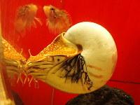 「生きた化石」の代表格であるオウムガイ=高田守さん提供