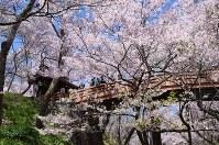 鮮やかに咲き誇る高遠城址公園の桜=伊那市で