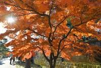 見ごろを迎えている皇居・乾通りの紅葉=東京都千代田区で2017年12月2日午前9時15分、手塚耕一郎撮影