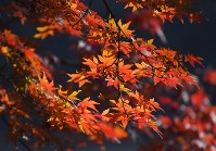 見ごろを迎えている皇居・乾通りの紅葉=東京都千代田区で2017年12月2日午前9時8分、手塚耕一郎撮影