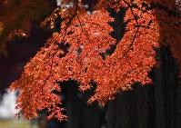 見ごろを迎えている皇居・乾通りの紅葉=東京都千代田区で2017年12月2日午前9時13分、手塚耕一郎撮影