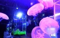 色とりどりの魚やクラゲが泳ぐ水槽。その明かりが薄暗く落ち着いた雰囲気の店内を照らす。近藤熱帯魚店(大阪市北区)は、熱帯魚をめでながらお酒を楽しめるバーだ。店長の近藤充さん(39)は小さな頃から生き物好き。初めて熱帯魚を飼った時、宝石のようにきらきら輝く姿に感動した。水産大学に進んで就職したが、同じ感動を味わってもらいたいと2011年に脱サラして開業した=大阪市北区で2017年11月22日、山崎一輝撮影