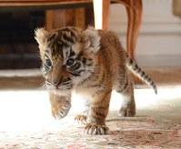 生後1カ月のトラの赤ちゃん