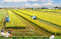 ベトナムはコメの生産が盛ん。稲刈りの風景はハノイ郊外のあちこちで見られる(VAIO提供)