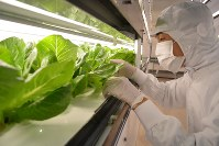 A factory worker checks a hydroponic romaine lettuce plant at Tokyo Metro Co.'s cultivation center in Tokyo's Edogawa Ward on Nov. 17, 2017. (Mainichi)