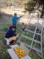 家族そろってユズを収穫。「セゾン744」造りはここから始まる=島根県益田市の真砂地区で、筆者の山口厳雄さん撮影