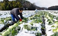 雪を払いながらキャベツを収穫する、ながはまアグリ試験圃場の職員たち=滋賀県長浜市小谷丁野で、若本和夫撮影