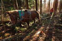 馬を巧みに操り、伐採した木を運ぶ岩間敬さん(39)。20代前半から馬搬を続け、馬搬の盛んな英国の競技大会で優勝するほどの技術を身につけた宮城県大崎市で2017年12月5日、喜屋武真之介撮影