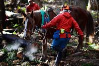 杉林の中を通り丸太を運ぶ馬。馬搬に使われる馬は慣れない場所やチェーンソーなどの大きな音にも動じないよう訓練されていた=宮城県大崎市で2017年12月5日、喜屋武真之介撮影