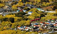 本社ヘリに乗って、ギンナン畑を空から眺めた。黄葉の中を赤い電車が見え隠れしながら走っていた=いずれも愛知県稲沢市祖父江町で