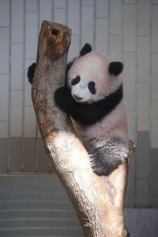 一般公開を前に関係者にお披露目されたジャイアントパンダの子どものシャンシャン =東京都台東区の上野動物園で2017年12月18日午前11時10分(代表撮影)