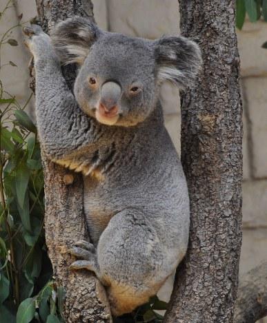 東山動植物園雄のコアラ死ぬ9日に続き 雄は1頭に 毎日新聞